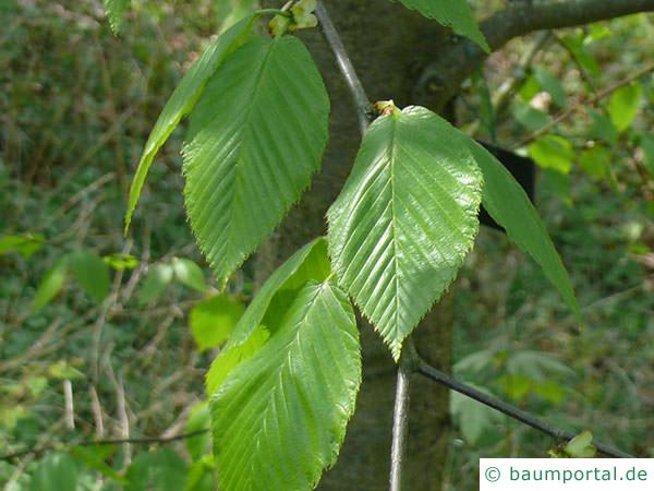 Zucker-Birke (Betula lenta) Blätter