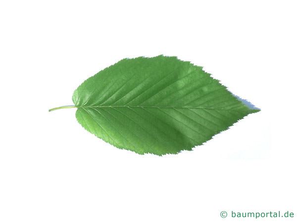Zucker-Birke (Betula lenta) Blatt