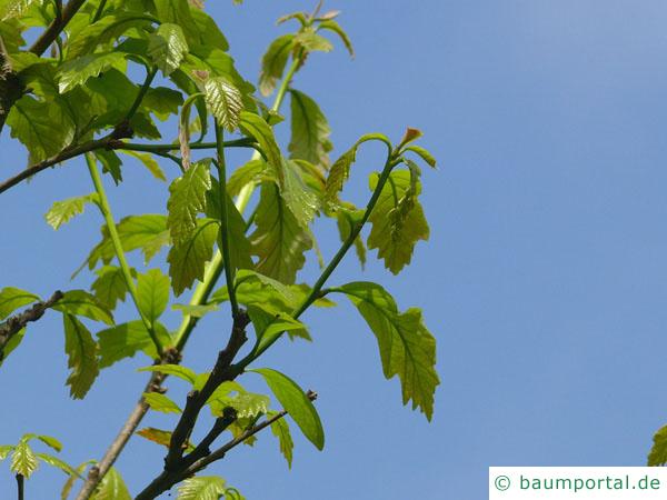 zweifarbige Eiche (Quercus bicolor) im Austrieb