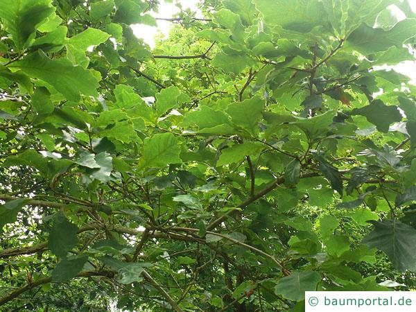zweifarbige Eiche (Quercus bicolor) Blätter