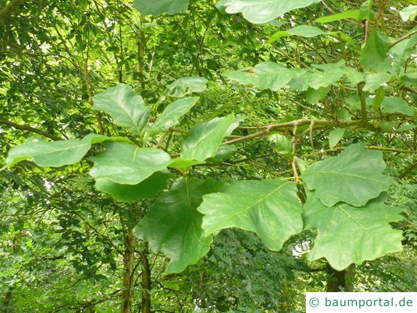 zweifarbige Eiche (Quercus bicolor) Eichenblätter