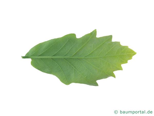 zweifarbige Eiche (Quercus bicolor) Blatt Unterseite