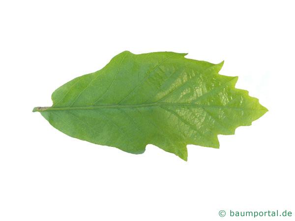 zweifarbige Eiche (Quercus bicolor) Blatt
