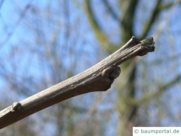 zweifarbige Eiche (Quercus bicolor) Endknospe
