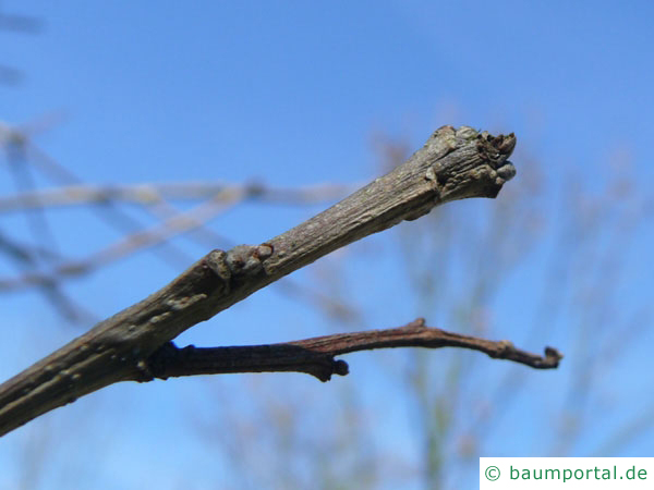 zweifarbige Eiche (Quercus bicolor) Knospe