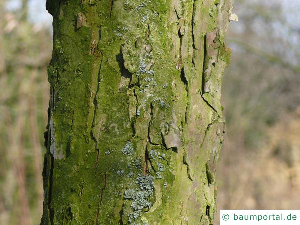 zweifarbige Eiche (Quercus bicolor) Stamm / Rinde / Borke
