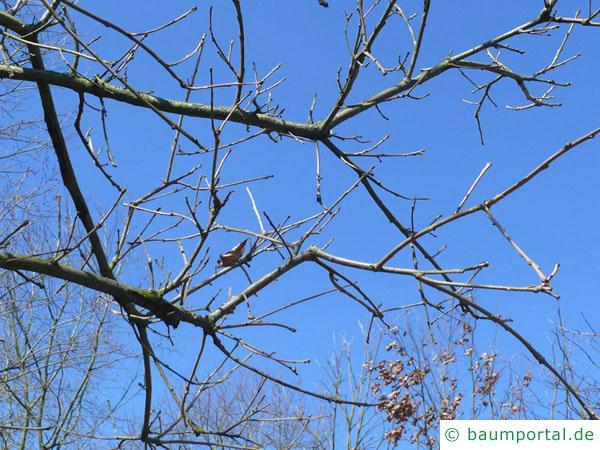 zweifarbige Eiche (Quercus bicolor) Zweige