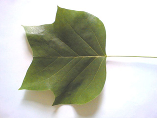 Bilder - Tulpenbaum | Baumportal
